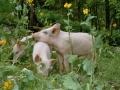 schweine_b1_large