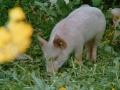 schweine_b2_large